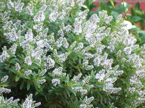 Die besten 25+ Small evergreen shrubs Ideen auf Pinterest - gartenstraucher immergrun winterhart