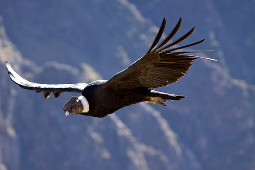 Condor at Cruz del Condor by Ray Euden, via Flickr