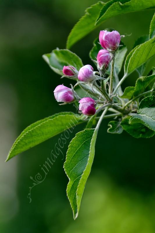 spring flowers, fruhlingsblumen, fleur de printemp, flori de primavara, muguri,