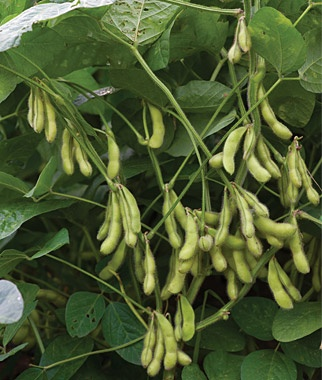 Envy - Soybean Seed | Johnny's Selected Seeds