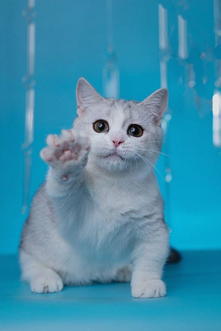 What S A Ragdoll Cats Average Lifespan Ragdoll Ragdollcats Ragdollfacts Ragdollcare Ragdollbrown Ragdollcute Cats In 2020 Kittens Cutest Cat Love Ragdoll Cat