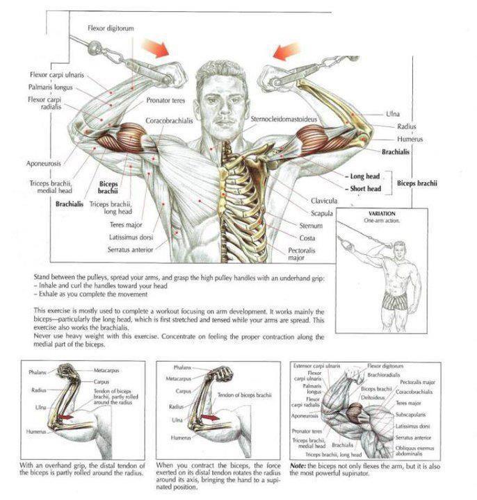 63 besten Strength Training Anatomy Bilder auf Pinterest | Fitness ...