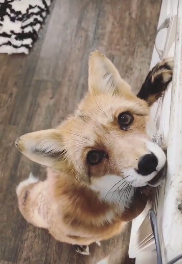 "•Juniper the Fox ""Food? I want some. Gimme!~"""