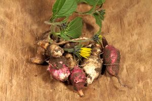 Topinambur - Pflanzen, Pflege, Ernte