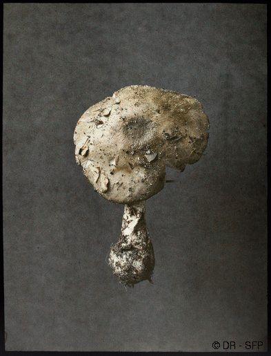 Léon Gimpel,Amanite phalloïde,© DR - SFP