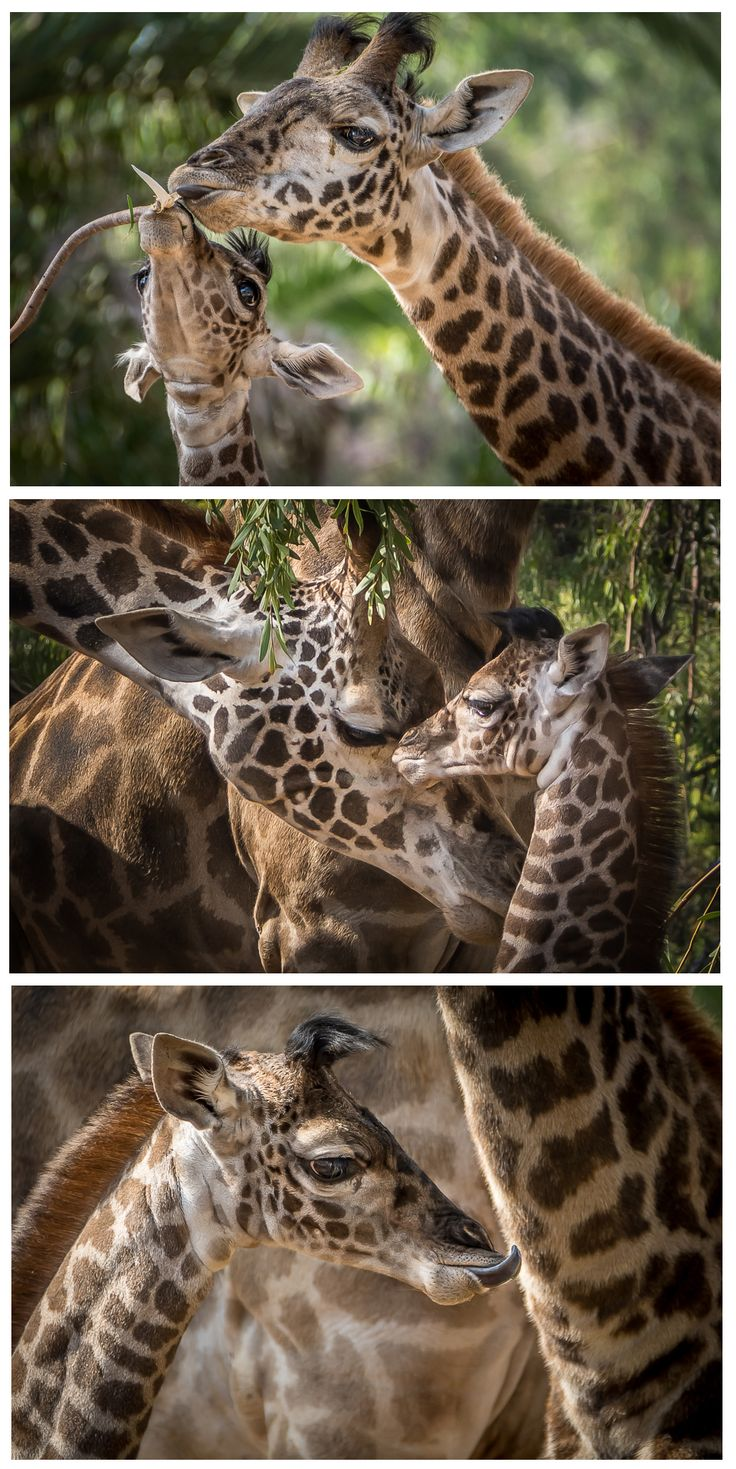 The newest member of our giraffe herd learning how to be a #giraffe  Photos by Helene Hoffman