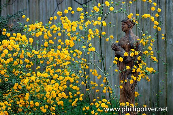 1000 images about kerria on pinterest gardens rose for Kerria japonica