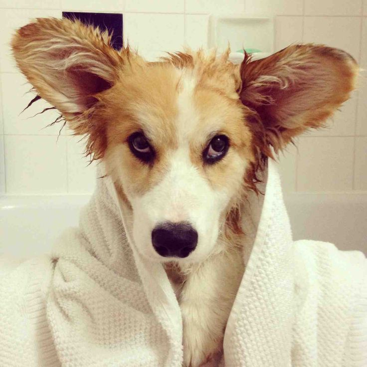"""Corgi Buster and his """"I'm going to run away from home"""" look."""