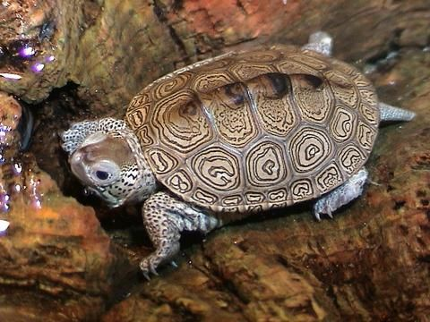 Kingsnake Com Classifieds Gt Aquatic Turtle Classifieds