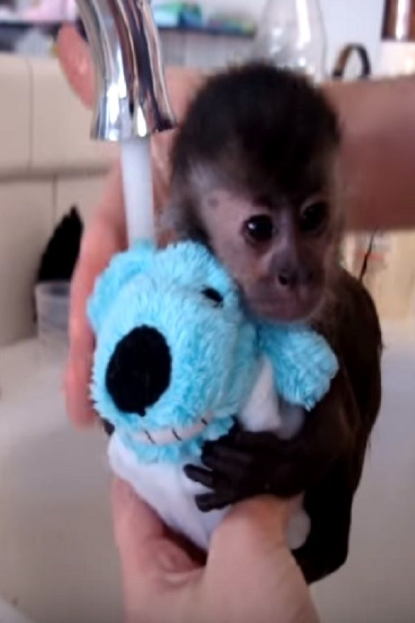 This Baby Monkey Is About To Take A Bath Video Baby Monkey For