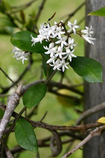 NZ Jasmine Parsonsia heterophylla