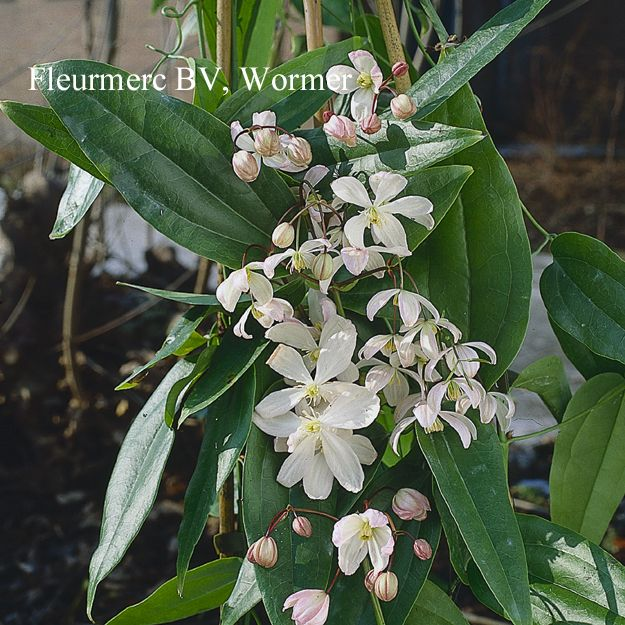 clematis armandii is a beautiful fast growing climber with. Black Bedroom Furniture Sets. Home Design Ideas