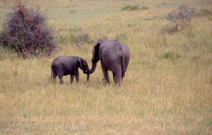 Motherly love...Elephants in Masaai Mara Game Park, Kenya, Africa http://www.ytravelblog.com/4-safari-game-parks-to-visit-in-africa/