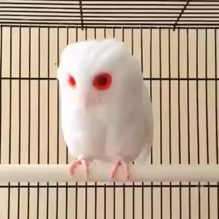 Rare Magical White Owl With Red Eyes