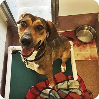 Labrador Retriever/Hound (Unknown Type) Mix Dog for adoption in Denver, Colorado - Jingles