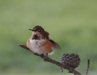 One of our beloved feathered friends.  Hummingbirds on the meadow, May through mid-August.