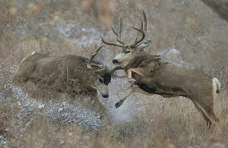 Two Big Bucks fighting it out