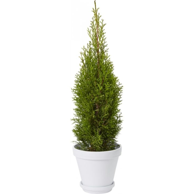 Vesttuja 50-70 cm - Plantasjen.no