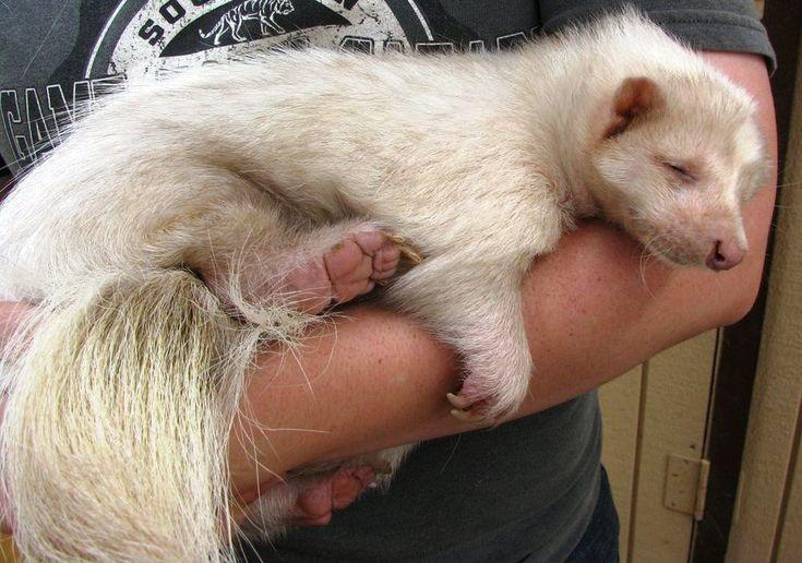 Albino skunk.