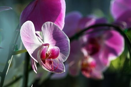 Phalaenopsis Orchid in pink colors from a Phuket nursery