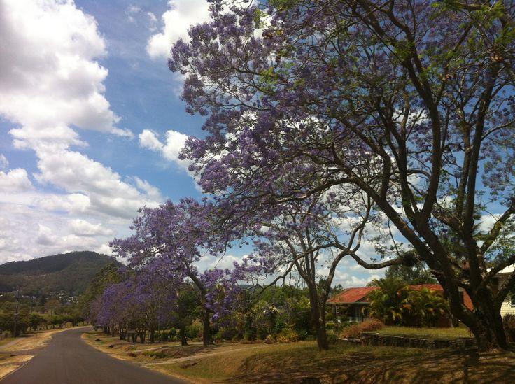 Anzac Drive #Kyogle Jacaranda