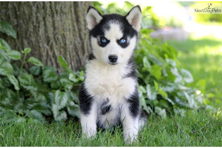 Siberian Husky puppy for sale near Lancaster, Pennsylvania | a592da7e-4031