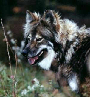 Native American Indian Dogs- hypoallergenic - Completely different from a Boxer but I sure would like to have one of these!