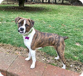 Mentor, OH Boston Terrier/Boxer Mix. Meet WYATT**8
