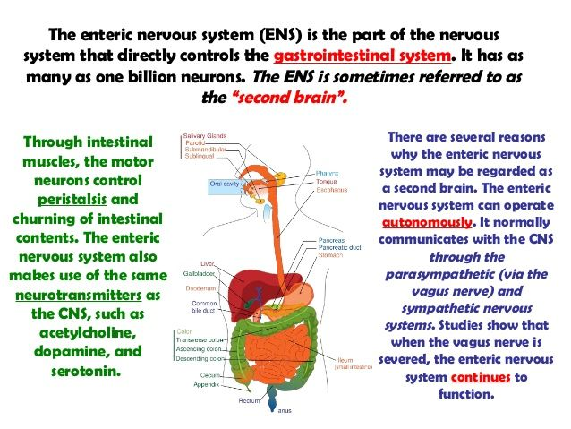 Image result for enteric nervous system divisions