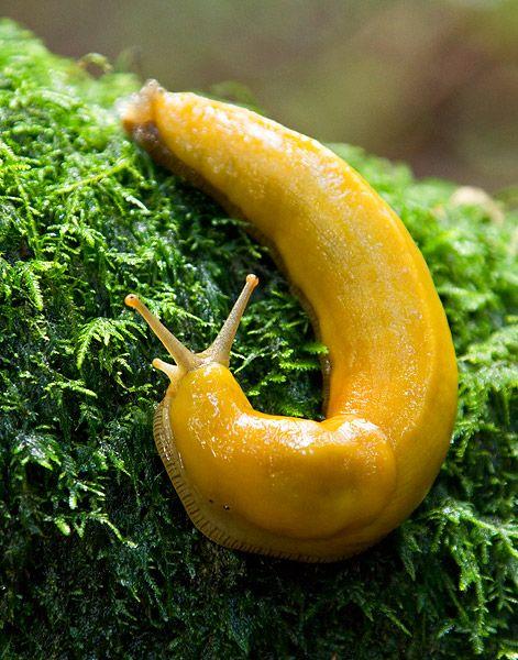 cuz it reminds me of Humbolt.  Cute banana slug