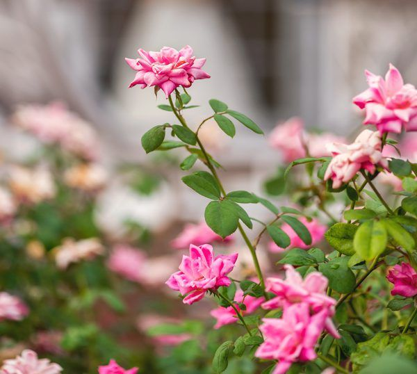 Overwatering Rose Bushes And Yellow Leaves Rose Bush Planting Roses Landscaping With Roses