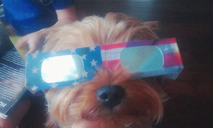 Everybody's ready for the Eclipse  #eclipse #eclipse2017 #eclipsefantastico #eclipselunar #eclipseusa #eclipseaugust2017 #lune #moon #luna #lunareclipse #lunar #eclipseglasses #eclipseglasses2017 #lunetteseclipse #pet #yorkie #yorkiesofinstagram #yorkshireterrier #yorkshireterriersofinstagram #dog #chien #funny #cute #friend #chou #ready #eclipseready #safe #glasses #aninal
