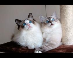 Piękne rasowe koty • Gibo.pl