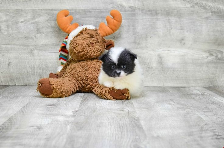 TEACUP POMERANIAN PUPPY - 6 week old Pomeranian for sale