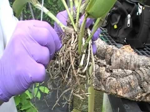 The Orchid Doctor - How to Mount an Orchid Part 1 - orchidmania south florida - YouTube