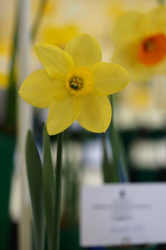 Narcissus 'New Penny' is a small cupped daffodil cultivar, from Division Three of the Royal Horticultural Society's Classification System.