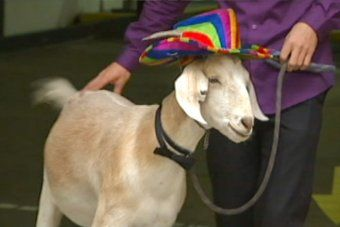 Gary the goat at court