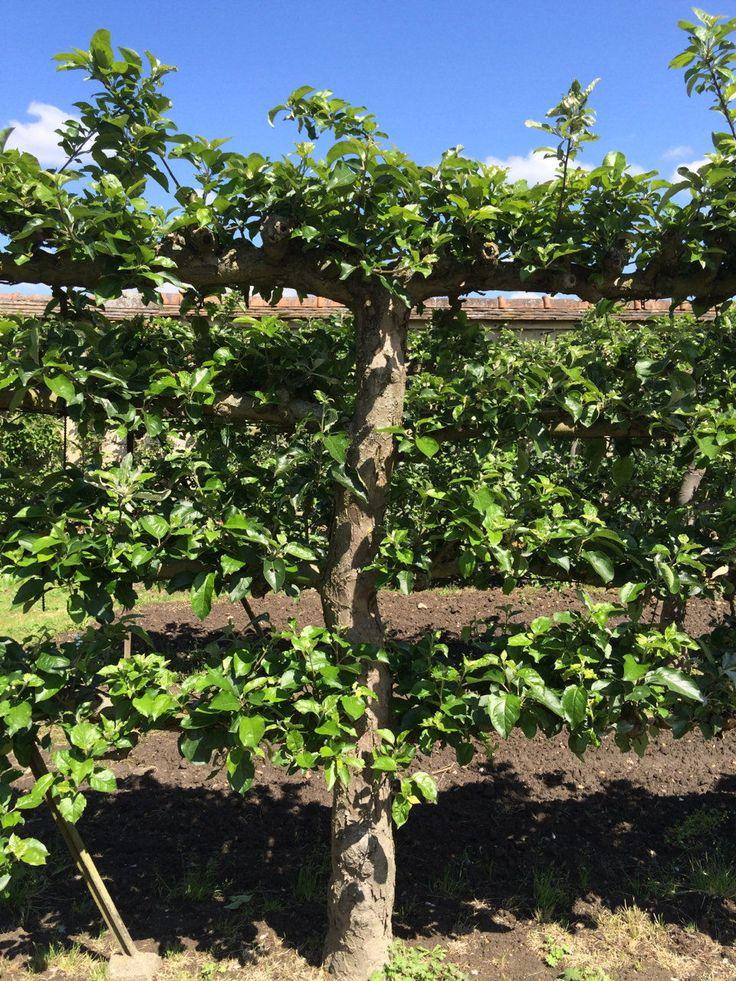 arbres fruitiers en espalier gardening cordons espaliers and. Black Bedroom Furniture Sets. Home Design Ideas