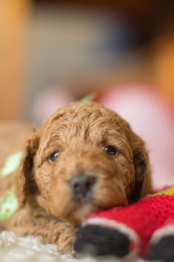 Teddy Bear Puppy This Is The Biggest Boy From Our Recent Cavoodle Litter He Is The Ultimate Teddy Bear Cuddly Soft Cavapoo Puppies Teddy Bear Puppies Dogs