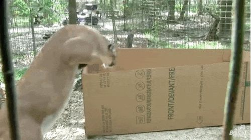 Watch What Happens When Big Cats Discover Cardboard Boxes