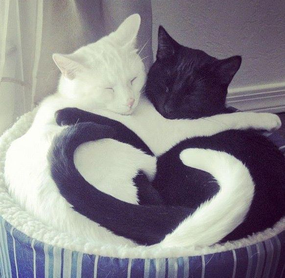 Gato negro y blanco en un abrazó que va más allá de su color.