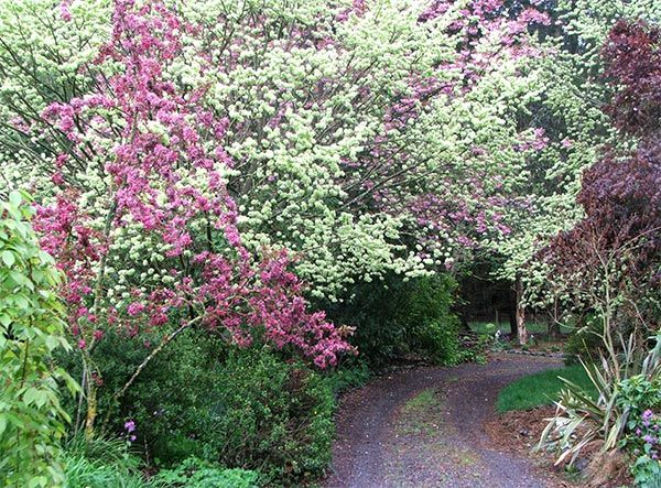 Stunning prairie crab apple in bright pink bloom with golden elm lime colored leaves behind