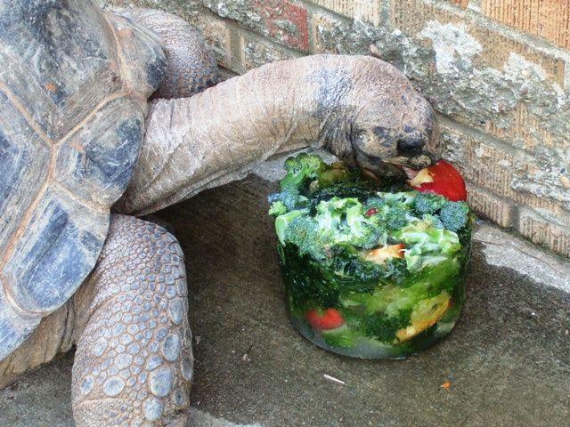 Keep your tortoise cool in the summer with this DIY Frozen Tortoise Treat - PetDIYs.com