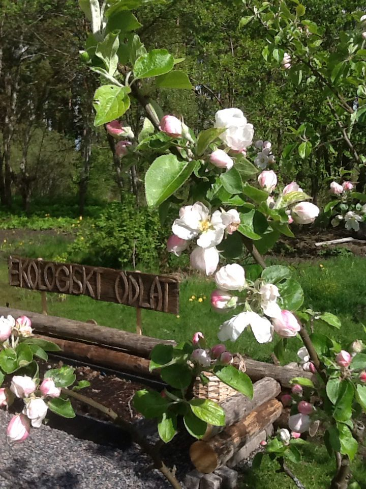 En påbörjad köksträdgård i bakgrunden av blommande äppelträd. Våren är en underbar tid!