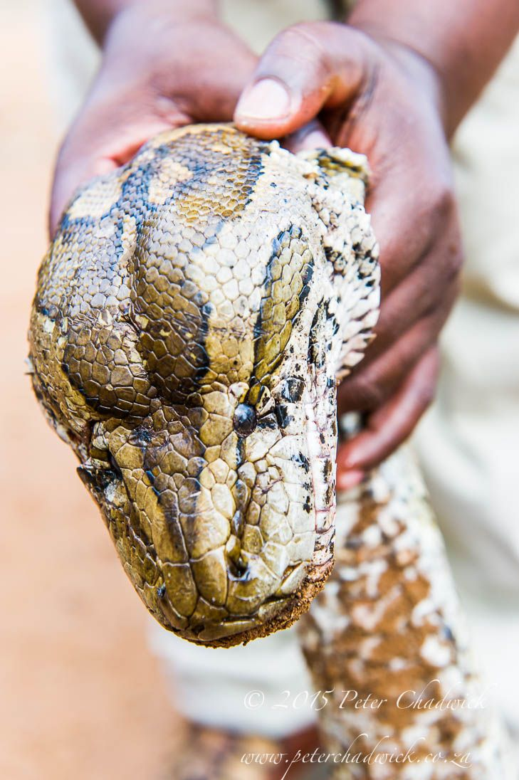 Poached African Rock Python by Conservation Photographer Peter Chadwick
