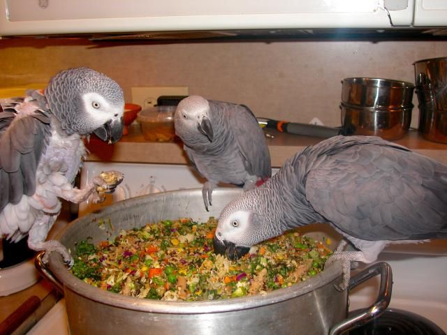"""Try using the """"Chop Concept"""" For Your Flock: My African Greys Love """"Chop"""""""