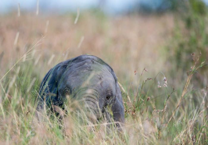 A young Elephant ambles through the long grass in open areas. Photograph by Mike Sutherland.