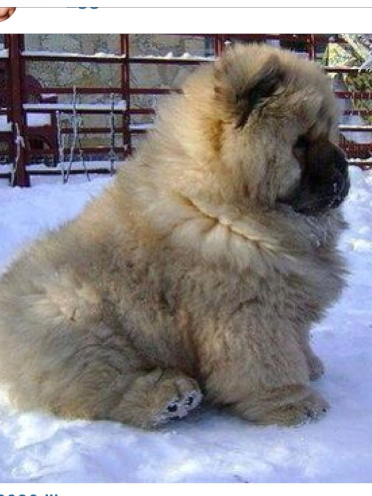 Great Koala Bear Chubby Adorable Dog - c4d4a8337df36647eb8384c55d0e6147--fat-dogs-fluffy-puppies  Picture_32562  .jpg