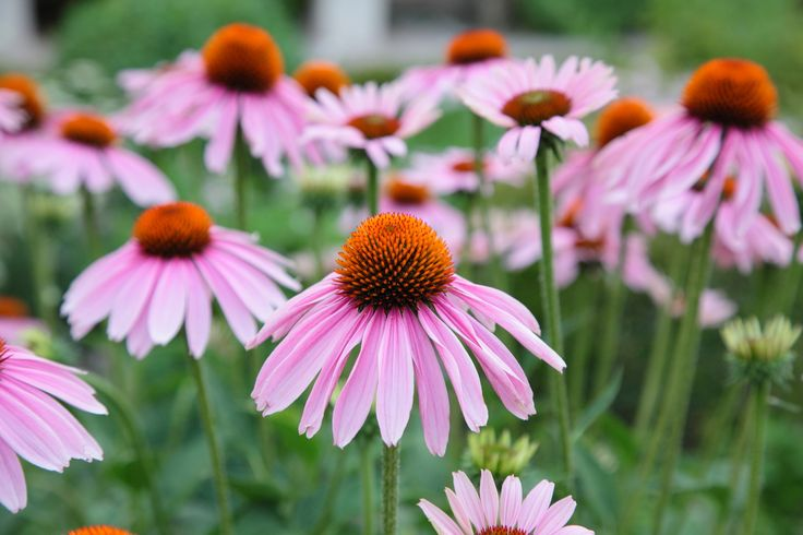 Marlenha's Harmony Light Moisturiser contains echinacea extract, which is highly hydrating and antioxidant. Ideal for oily skins.