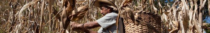 AN OPEN LETTER OF SOLIDARITY AMONG INDIGENOUS PEOPLES   Espacio Estatal en Defensa del Maíz Nativo de Oaxaca